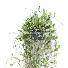 "Great Houseplants "" Hoya lacunosa "" by Joinflower Joinfolia"
