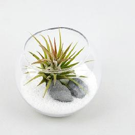Tillandsia Air Plants Bubble Glass White Sand Beach by Joinflower