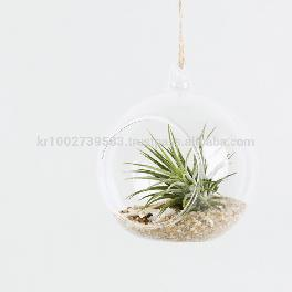 "Air Plants Tillandsia DIY Terrarium Kit "" Ionantha Mini Beach "" by Joinflower Joinfolia"