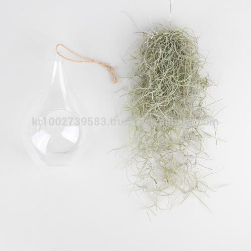 "Beautiful Air Plants Hanging Terrarium Set "" Spanish Moss "" Joinflower Joinfolia 