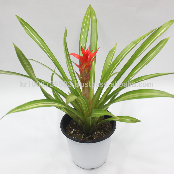 "Wonderfully stunning table top plants guzmania "" Grand Prix "" Joinflower Joinfolia"