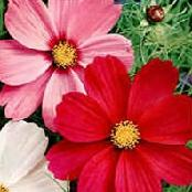 cosmos mixed sensations